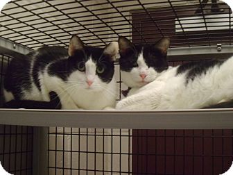 Domestic Shorthair Cat for adoption in Muscatine, Iowa - Minnie