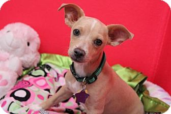 Dachshund Mix Puppy for adoption in Phoenix, Arizona - Calvin