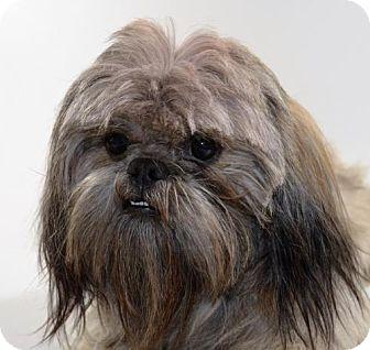 Shih Tzu Mix Dog for adoption in Brunswick, Maine - Creed