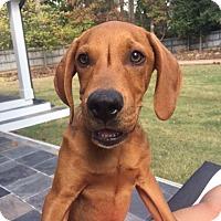 Redbone Coonhound Mix Dog for adoption in Alpharetta, Georgia - MaroonBrooks
