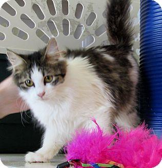 Domestic Longhair Kitten for adoption in Grinnell, Iowa - Elvira