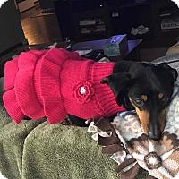 Adopt A Pet :: Maggie-Adoption Pending - Marcellus, MI