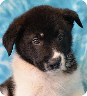 Labrador Retriever/Border Collie Mix Dog for adoption in Eureka, California - Simon