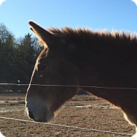 Donkey/Mule/Burro/Hinny for adoption in Laurel, Delaware - Nate