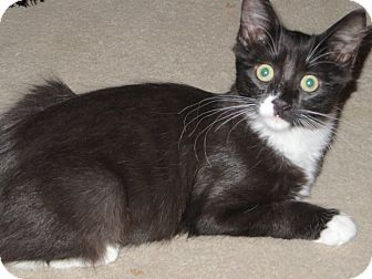 Domestic Shorthair Kitten for adoption in Los Angeles, California - Gracie Mae