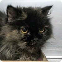 Adopt A Pet :: Aphrodite - Wooster, OH