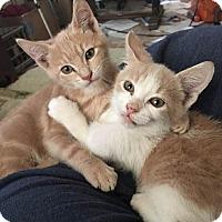 Adopt A Pet :: Simba - Fischer, TX