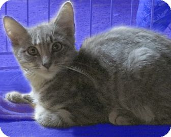 American Shorthair Cat for adoption in Rochester, New York - Taddy