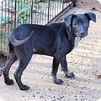 Cattle Dog/Manchester Terrier Mix Puppy for adoption in Coopersburg, Pennsylvania - Neil