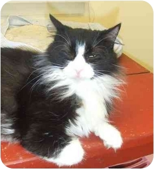 Domestic Mediumhair Cat for adoption in Lake Charles, Louisiana - Amanda