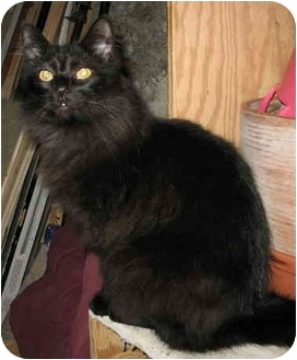 Domestic Longhair Cat for adoption in Cincinnati, Ohio - Pumpkin