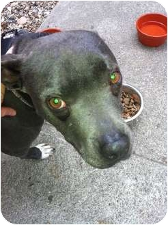 American Pit Bull Terrier Mix Dog for adoption in Los Angeles, California - Sheba - FOSTER NEEDED!