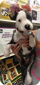American Pit Bull Terrier Mix Puppy for adoption in Mesa, Arizona - Wego