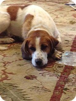 English Springer Spaniel/Foxhound Mix Dog for adoption in Reynoldsburg, Ohio - Roscoe