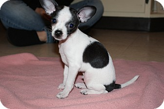 Chihuahua Mix Puppy for adoption in Medford, Massachusetts - Petey
