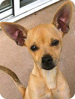 Chihuahua Mix Puppy for adoption in Thousand Oaks, California - Skyler