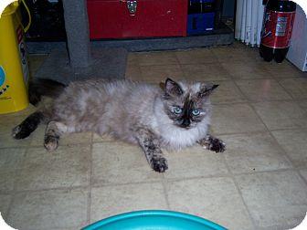 Siamese Cat for adoption in Whittier, California - Mew mew