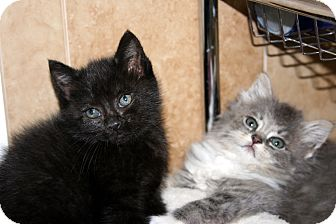 Domestic Mediumhair Kitten for adoption in Arlington, Virginia - Dori & Darla (Kitten Cuteness)