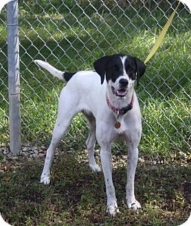 Pointer Dog for adoption in Atchison, Kansas - Lady