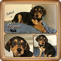 Adopt A Pet :: Gizmo-pending adoption - Manchester, CT