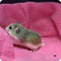 Hamster for adoption in Imperial Beach, California - Baxter (with Elston & Clayton)