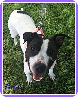 Pit Bull Terrier/Staffordshire Bull Terrier Mix Dog for adoption in Elburn, Illinois - Grier