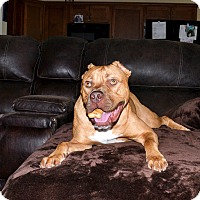 Cane Corso Dog for adoption in Knoxville, Tennessee - ROCKY
