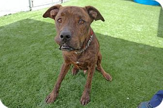 Hound (Unknown Type) Mix Dog for adoption in Cocoa, Florida - Knight (Cocoa Center)