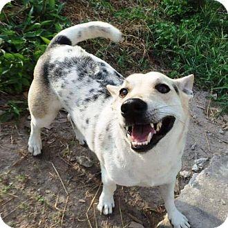 Jack Russell Terrier/Corgi Mix Dog for adoption in Wonder Lake, Illinois - AKIN
