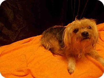 Yorkie, Yorkshire Terrier Mix Dog for adoption in Upper Marlboro, Maryland - *MAZIE