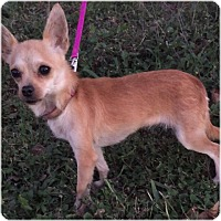 Chihuahua Mix Dog for adoption in Comanche, Texas - Chica