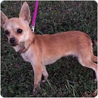 Adopt A Pet :: Chica - Comanche, TX