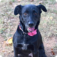 Retriever (Unknown Type)/Labrador Retriever Mix Dog for adoption in Huntsville, Alabama - Bonnie