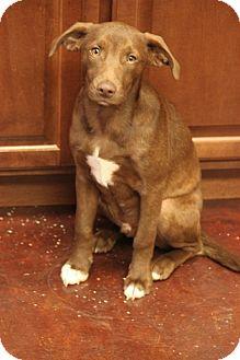 Labrador Retriever Mix Dog for adoption in Jewett City, Connecticut - Zach