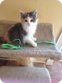 Domestic Mediumhair Kitten for adoption in Bridgeton, Missouri - Bunny
