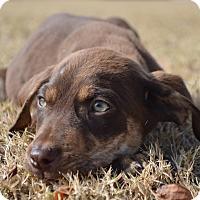 Labrador Retriever Mix Puppy for adoption in Allen town, Pennsylvania - Mel-ADOPTED