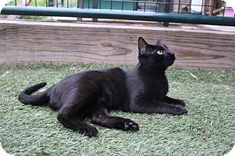 Domestic Shorthair Cat for adoption in Colorado Springs, Colorado - Williamette