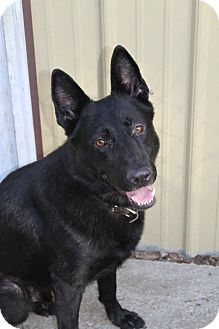 German Shepherd Dog Dog for adoption in Muskegon, Michigan - Keegan