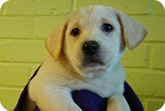Labrador Retriever Mix Puppy for adoption in Charlemont, Massachusetts - Lisa