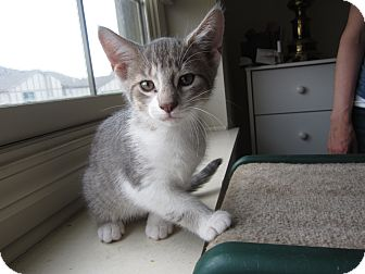Abyssinian Kitten for adoption in Chesterfield Township, Michigan - Milo