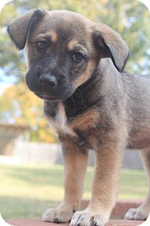 German Shepherd Dog/Labrador Retriever Mix Puppy for adoption in Wytheville, Virginia - Strudel