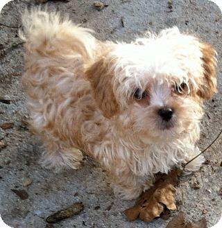 Havanese/Shih Tzu Mix Puppy for adoption in Smyrna, Georgia - CASSY