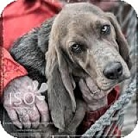 Adopt A Pet :: Mr. Peabody - Barrington, IL