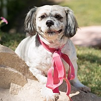 Shih Tzu Mix Dog for adoption in Sherman Oaks, California - Bebe