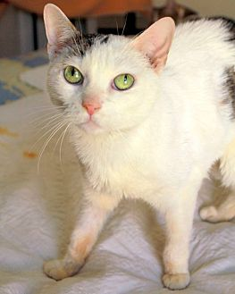 Domestic Shorthair Cat for adoption in New York, New York - Fifi