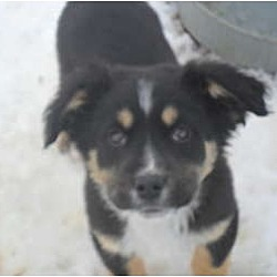 Photo 2 - Border Collie/Golden Retriever Mix Dog for adoption in Anton, Texas - Chester (two)