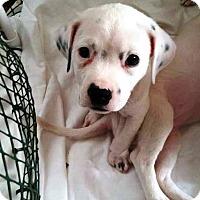 Adopt A Pet :: Peyton - Ft. Lauderdale, FL