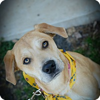 Adopt A Pet :: Amber - Muldrow, OK