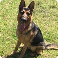 Adopt A Pet :: Calypso (Callie) ~ ADOPTION PENDING - Morrisville, NC