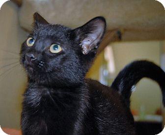 Domestic Shorthair Kitten for adoption in Wilmington, Ohio - Hans